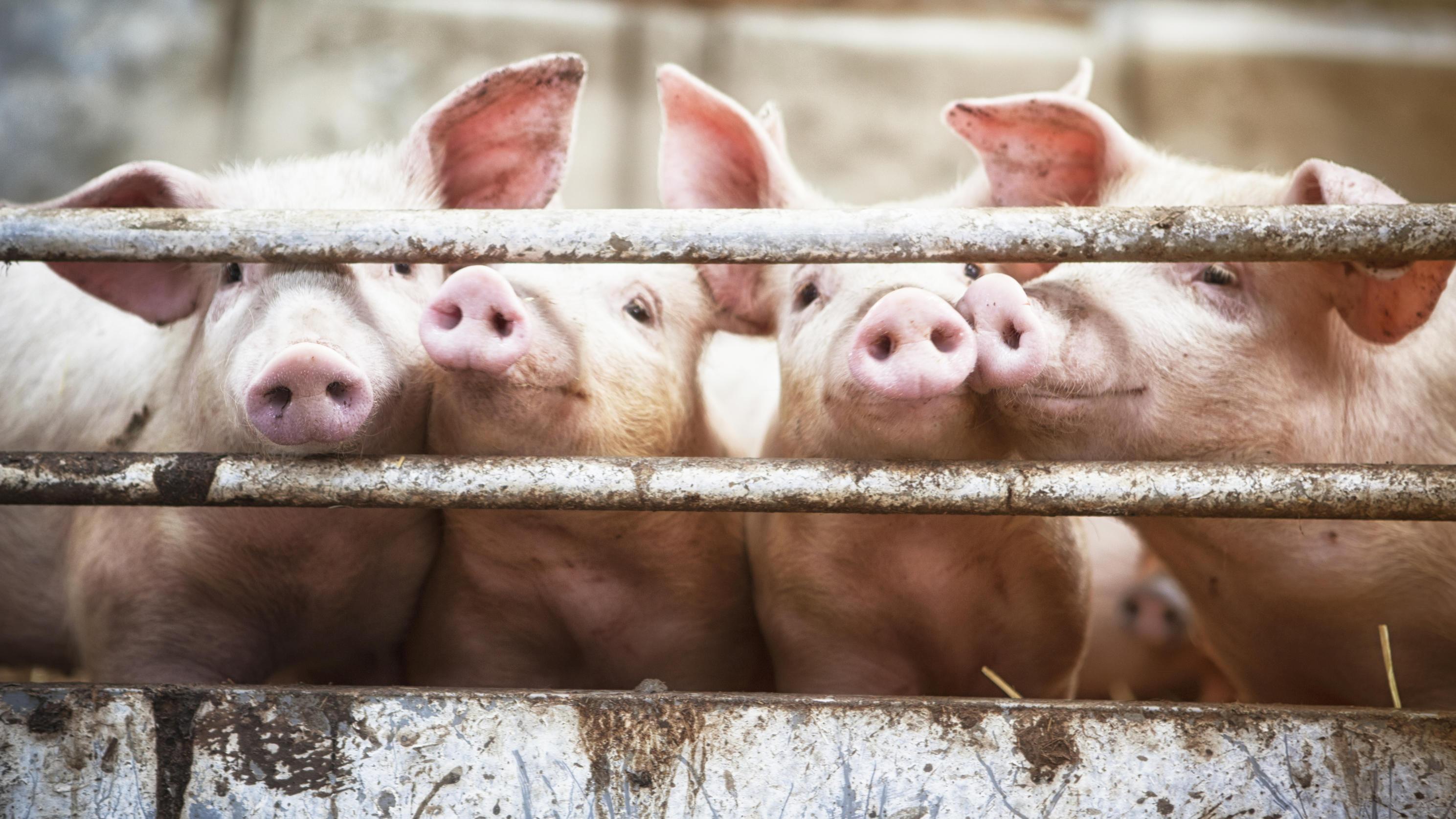 USA - Arbeiter uriniert auf Fließband: Schlachter muss 23.000 Kilo Fleisch vernichten