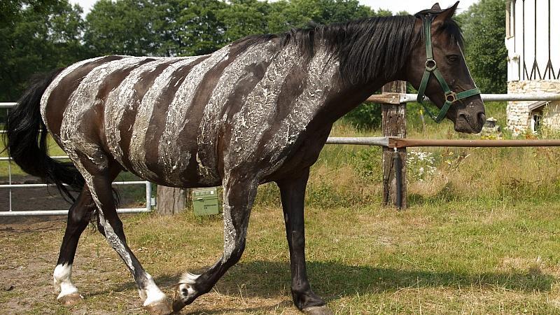 pferd streifen malen zebra