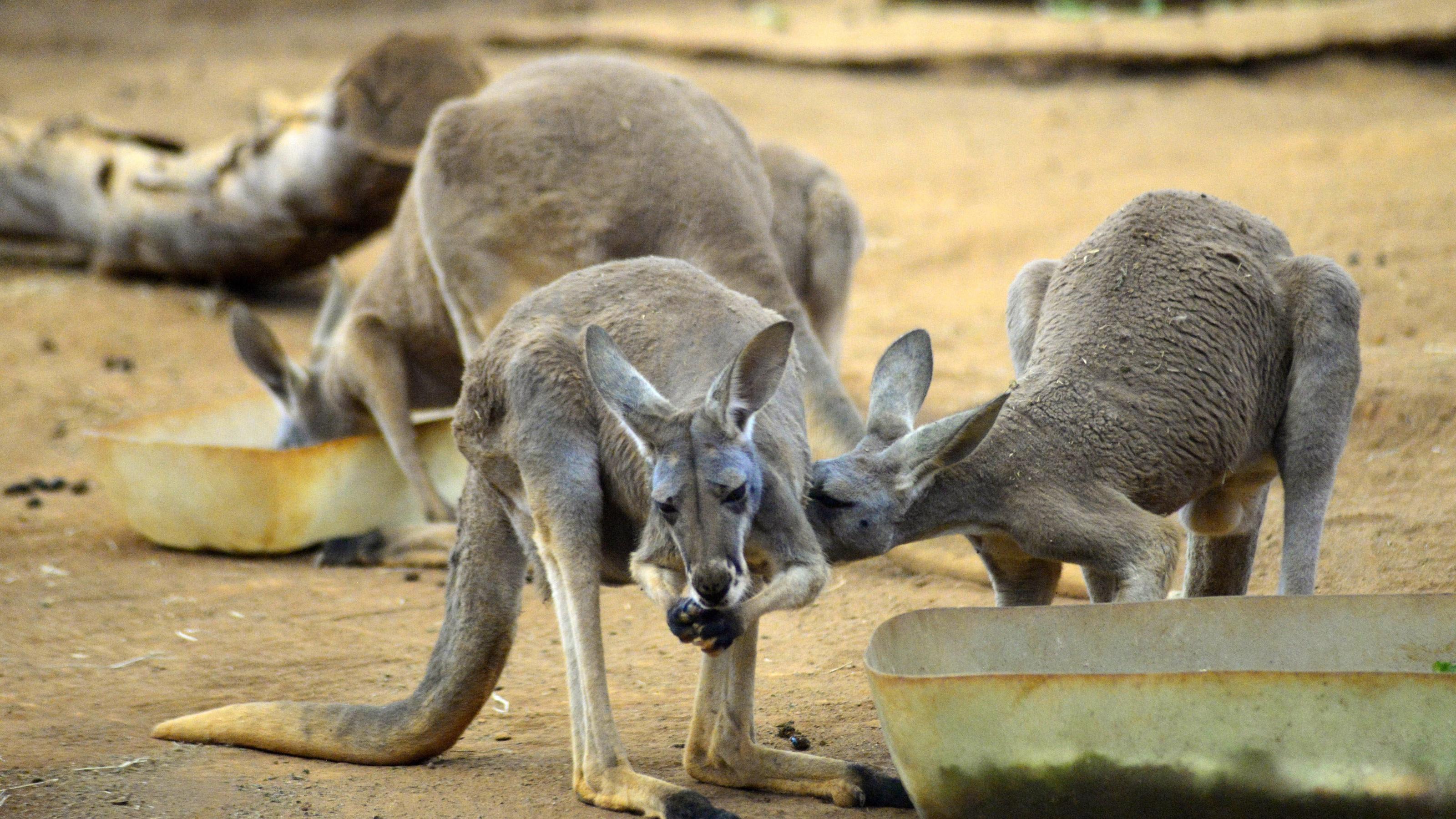 Besucher eines chinesischen Zoos töten Känguru durch Steinwürfe