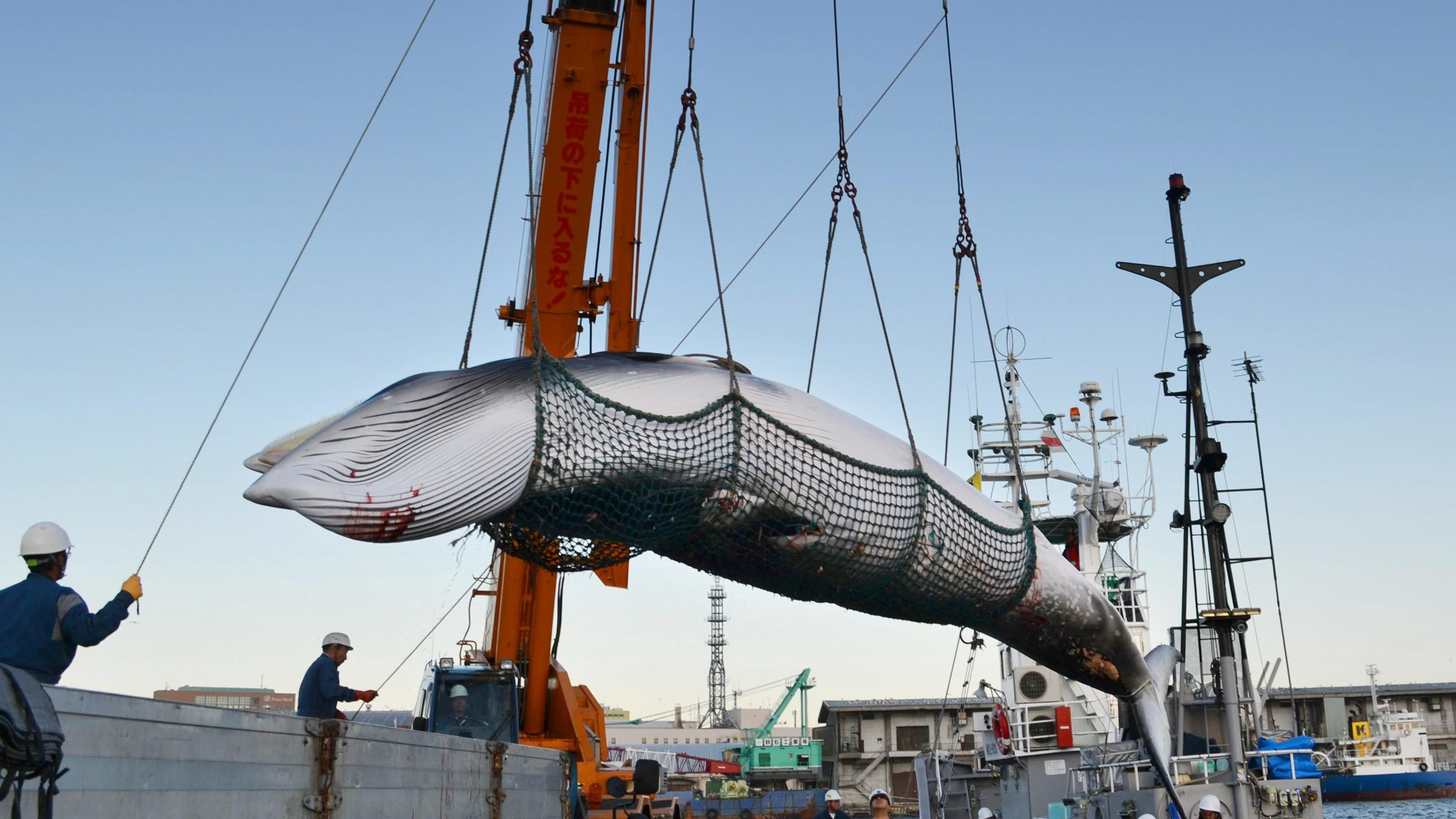 "©Kyodo/MAXPPP - 05/09/2017 &#x3B; A minke whale is landed at a port in Kushiro on Japan's northernmost main island of Hokkaido on Sept. 4, 2017, the day ""research whaling"" in the Northwest Pacific started. The whaling season will continue through late Oct"
