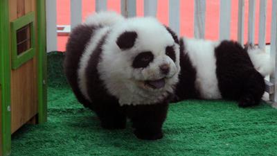 Knut knackte panda