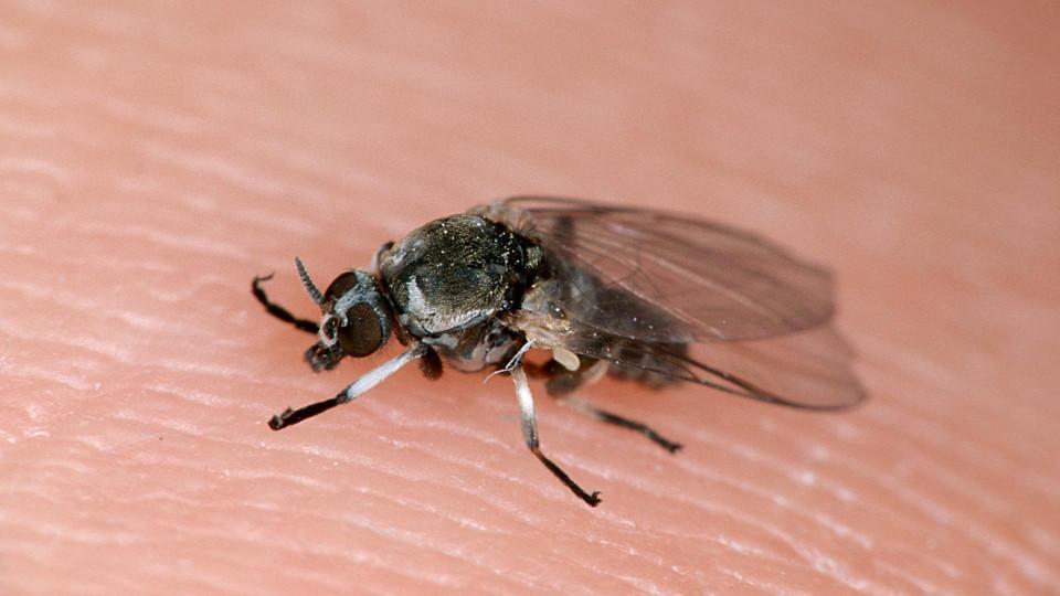 Stich Einer Kriebelmücke