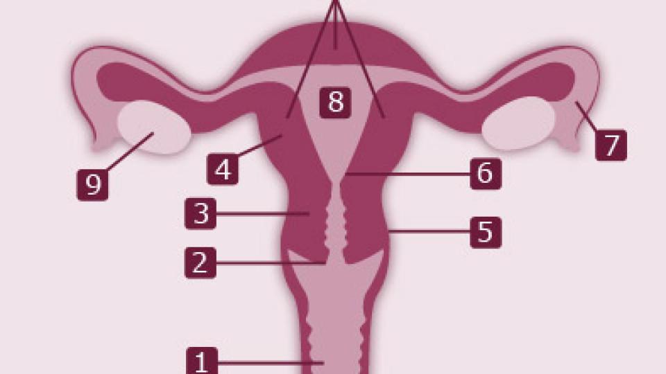 Gebärmutter: Aufgabe und Funktion des Uterus