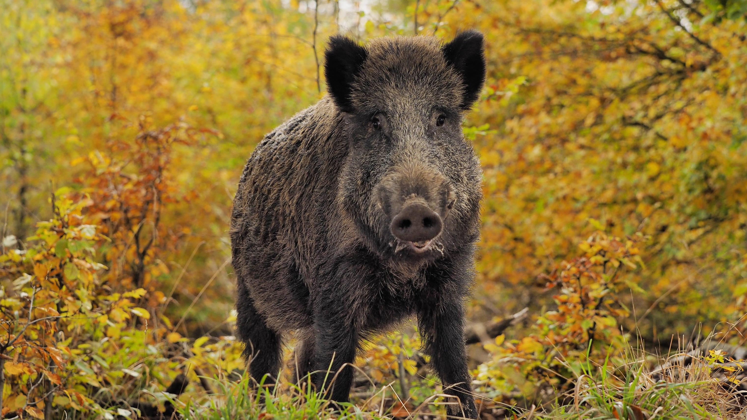 Wildschwein Angriff Statistik