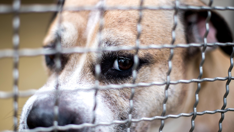Staffordshire Terrier Chico