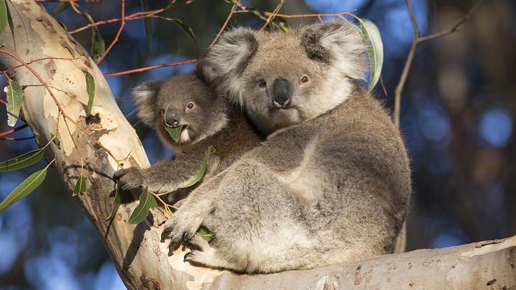 durstiger koala