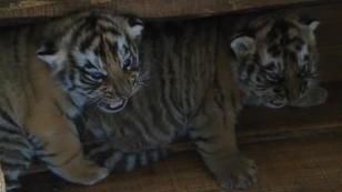 Flauschige Tiger-Babys in China geboren