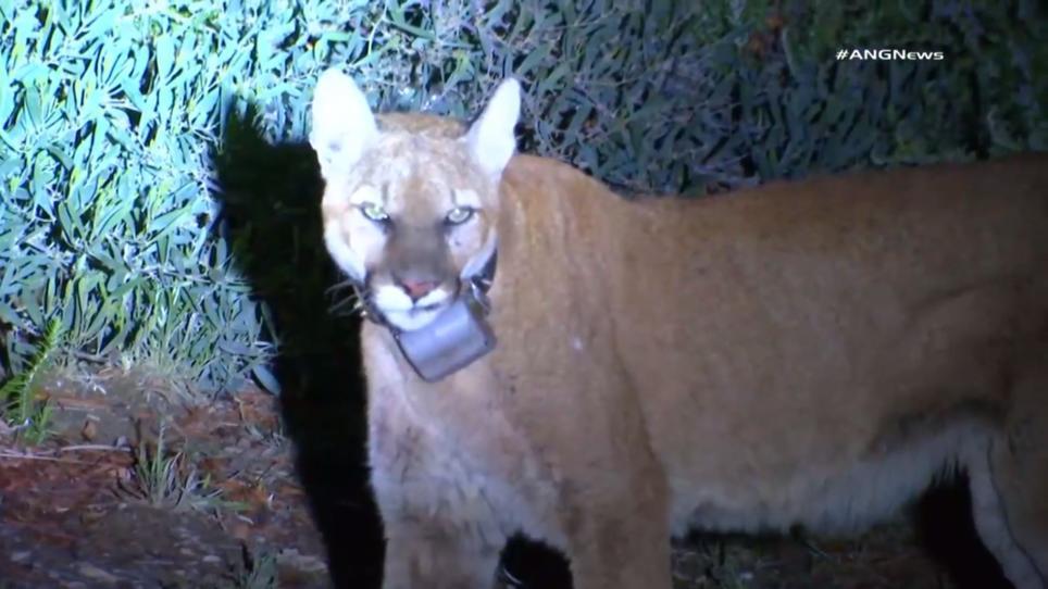 US Stadt in Angst: Puma tötet Hund